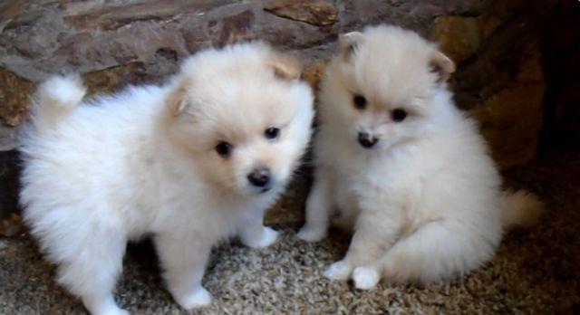 Adorable White/Cream Purebred Pomeranian Puppies - 8 weeks ...