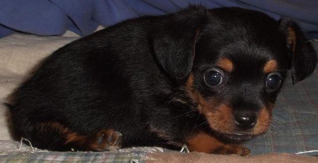 Rat Terrier Puppy For Sale In Bastrop Texas Classifieds Buy And