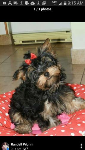 adorable yorkie male ckc