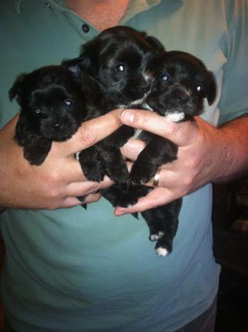 Adorable Yorkie Mix Puppies 4 Weeks Old For Sale In