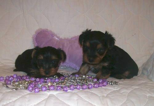 Adorable Yorkie Poo Puppies Black And Chocolate Price Reduced For