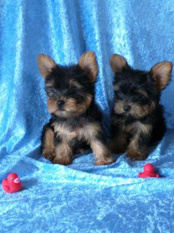 adorable yorkie puppies for sale in fort smith arkansas