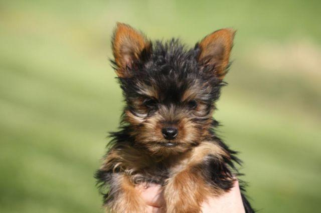 Adorable Yorkie Puppies For Sale Malyn 12 Weeks Old New Price