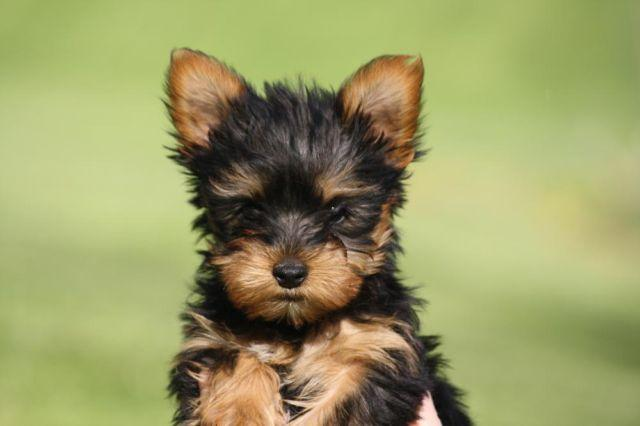 Adorable Yorkie Puppies For Sale Monte 12 Weeks Old New Price