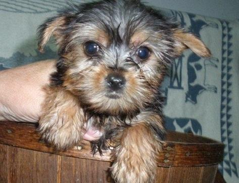 Adorable Yorkie Puppies Ready Nj For Sale In Muncie Indiana