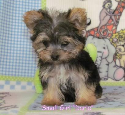 yorkie ton adorable yorkie ton puppies non shed allergy 2103