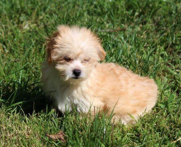 Adorable Yorkiepoo Toy Poodle Yorkshire Pups Hypoallergenic For
