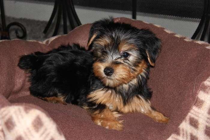 Adorable Yorkies All Sizes 11 Weeks For Sale In Jacksonville Florida Classified