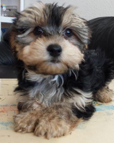 maltese yorkie mix rescue adorable yorkshire terrier maltese mix puppy for adoption 2990