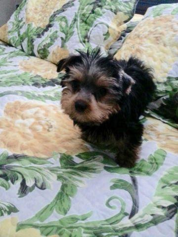 Adorable Yorkshire Terrier Puppies $795 and up