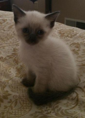 Kitten Siamese For Sale In Pennsylvania Classifieds Buy And Sell In Pennsylvania Americanlisted