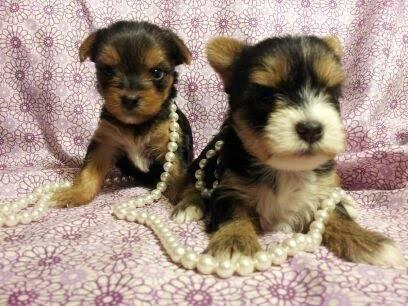 Adorable CKC Yorkie Puppies for sale in Ringgold, Georgia
