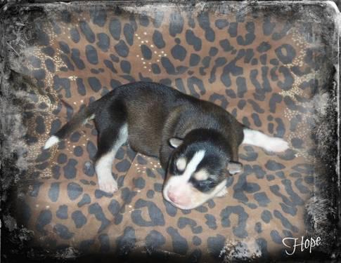 Gerberian Shepsky Puppies Sale Michigan   Dog Breeds Picture