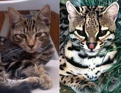 ocelot cats for sale florida