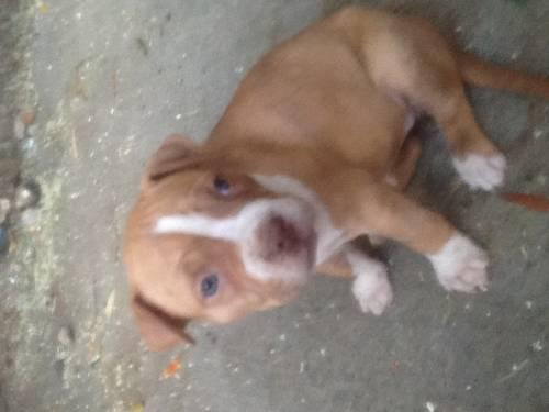 Adorable red nose pitbull puppies for sale in san jose california