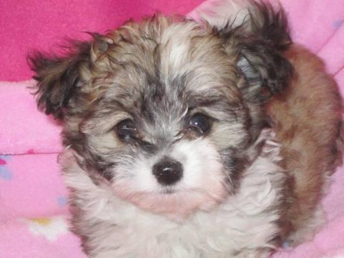 Adorable, Tiny Teacup Pomapoo for Sale in Howe, Oklahoma ...