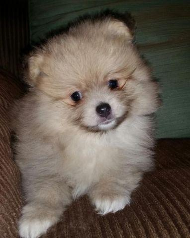 pomeranian breeders ny adorablet akc pomeranian puppies for sale in kent new 5642