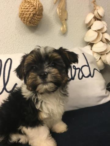 Female Morkie Puppies For Sale In Michigan Classifieds Buy And