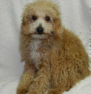Adult Apricot Parti Carrier Male Poodle