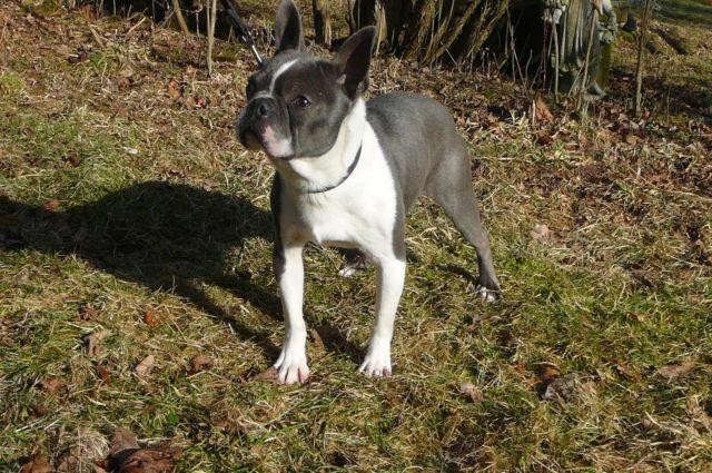 blue boston terrier for sale adult blue and white boston terrier male for sale for sale 9909