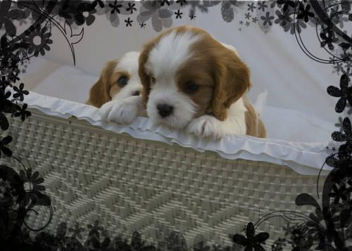Adult Cavalier King Charles Spaniel Male looking for
