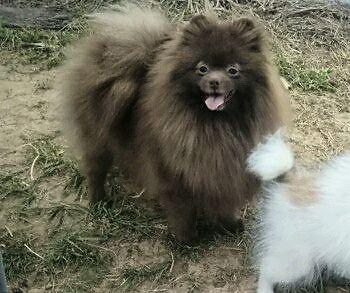 Adult chocolate Pomeranian pet only!