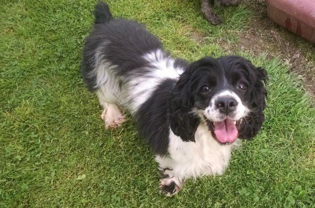 Spaniel adult for sale