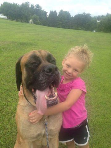 Adult English Mastiff