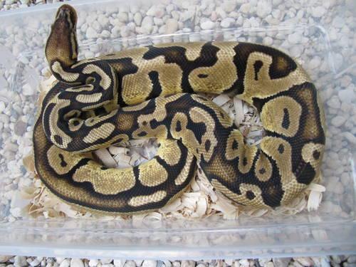 Adult Female Ball Python 66