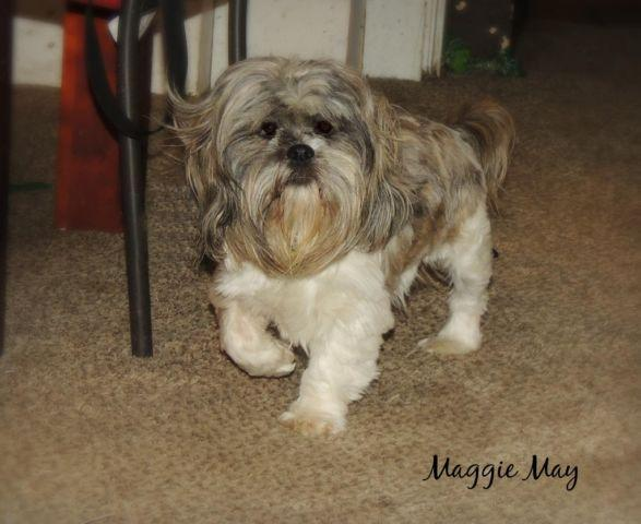 Female Shih Tzu House Trained And Cage