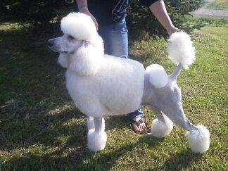 Adult Female Standard Poodle - Breeder