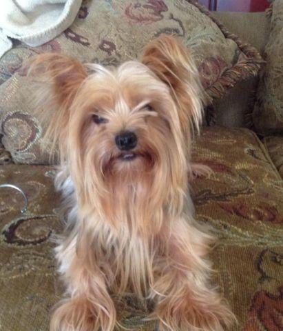 Adult Female Yorkie For Sale In Thonotosassa Florida Classified