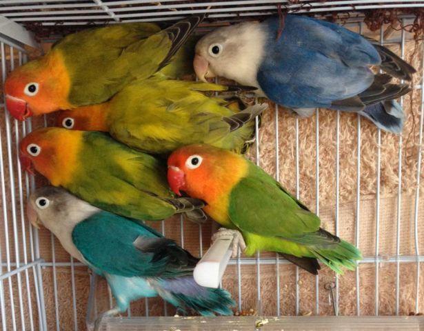 african lovebirds breeding tips pdf
