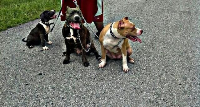 adult male blue brindle pitbull 2 years old for Sale in Gainesville