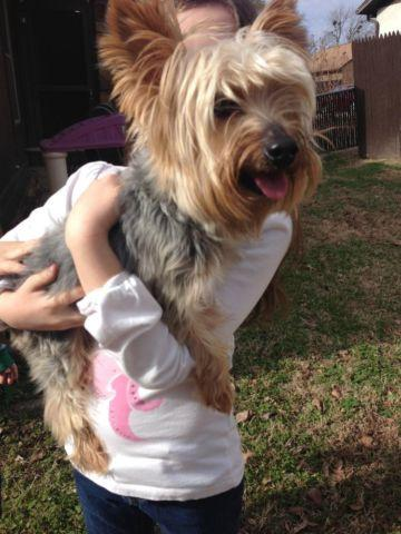 Yorkie Adult For Sale 32