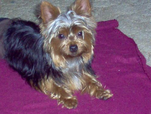Yorkie Adult For Sale 69