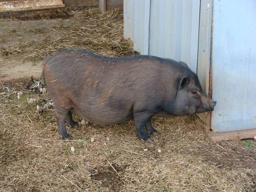 Adult mini potbelly pig - photo#5
