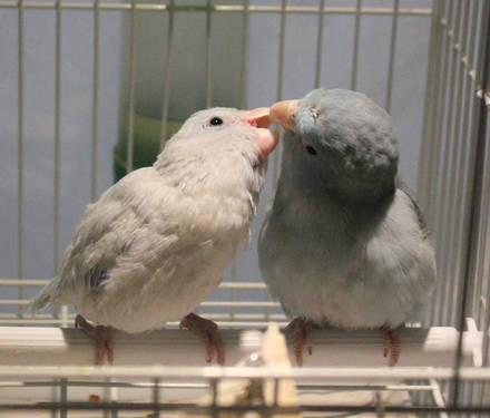 Adult Parrotlet Breeding Pairs - FREE SHIPPING (white