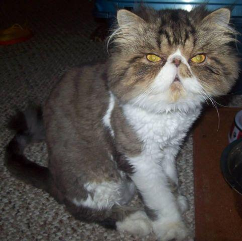 Adult Persian Boy Looking For a Forever Home :)