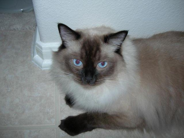 Adult Ragdoll Cat Free For Adoption For Sale In Katy