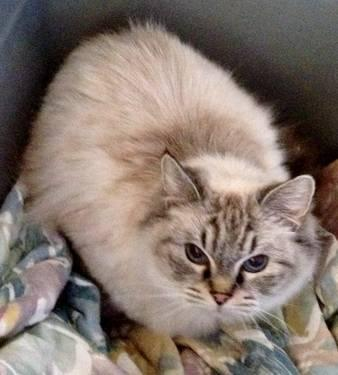 Ragdoll Cats For Sale In Georgia