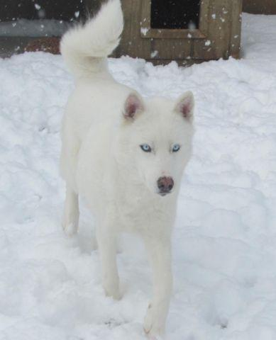 Dog White Fur Blue Eyes