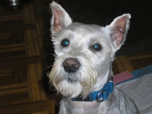 Adult White Miniature Schnauzer