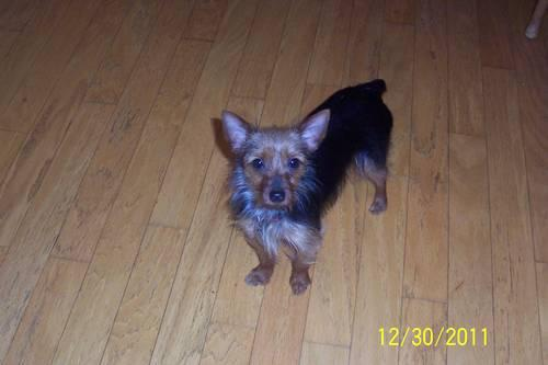 ADULT YORKIE FEMALE for Sale in Chatsworth, Georgia Classified ...: chatsworth-ga.americanlisted.com/30705/pets-animals/adult-yorkie...