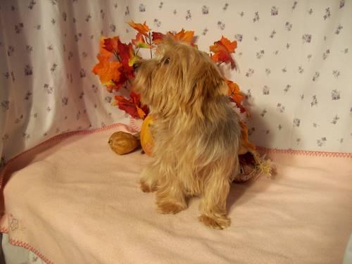 ADULT FEMALE YORKIES for Sale in Phoenix, Arizona Classified ...: phoenix-az.americanlisted.com/85038/pets-animals/adult-female...