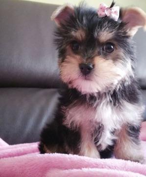 Affectionate home raised yorkie puppies for good homes
