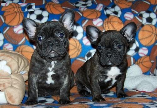 affordable french bulldog affordable french bulldog puppies for sale in sacramento 218