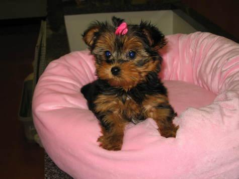 Affordable Micro Teacup Yorkie Puppies For Sale In Jacksonville