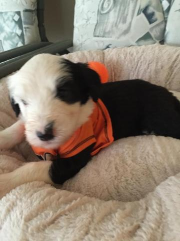 AFFORDABLE PUPPIES! OLD ENGLISH SHEEPDOG for Sale in