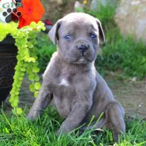 African Boerboel Puppies For Sale For Sale In Philadelphia